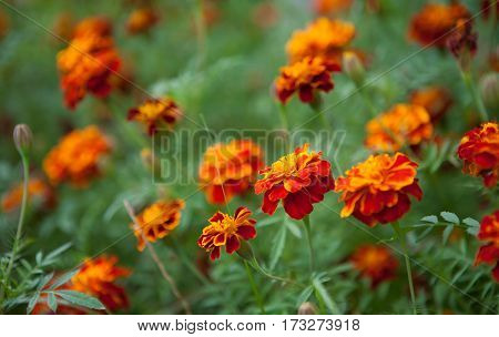 Growing Tagetes patula flower Close Up. Beautiful Natural floral background of Yellow and orange flowers marigold. Summertime. Wide Horizontal Colorful Wallpaper with selective focus.