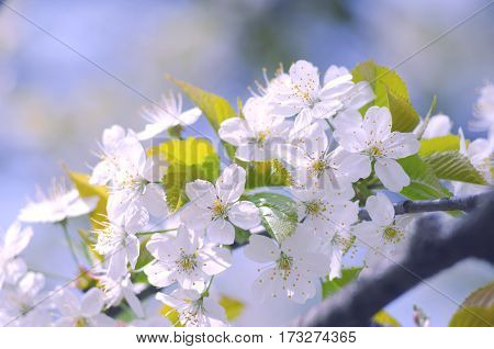 Spring branch of a tree with blossoming white small flowers on a blurred background. Spring background with white flowers on a tree branch.