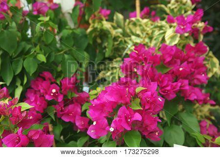Fresh Bougainvillea flowers