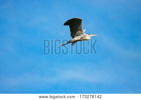 Flying Great Grey Heron (ardea cinerea). Adult heron in flight