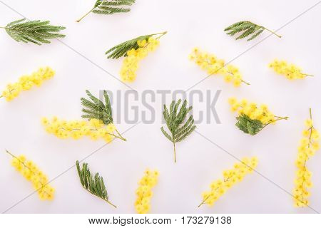 Background from flowers and leaves of fresh mimosa on white
