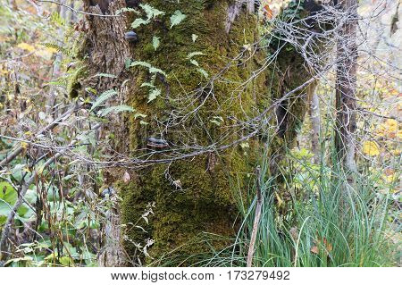 Bark of old tree with moss and birch fungus