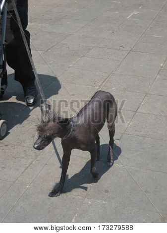 Mexican hairless dog, known as Xoloitzcuintli or escuincle, was once domesticated and raised by Aztecs as a source of food