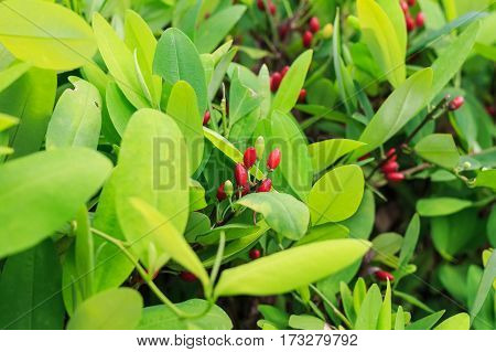 Leaves of coca plant or Erythroxylum novogranatense