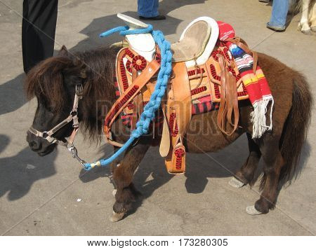 miniature horse standing just over two feet high at the shoulder. Used for pictures or rides for small children