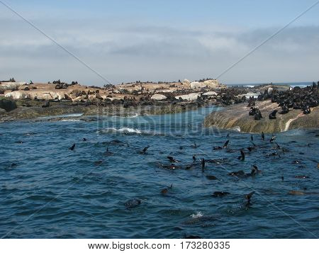 Seals swimming and resting on the rocks at SEAL ISLAND, CAPE TOWN SOUTH AFRICA