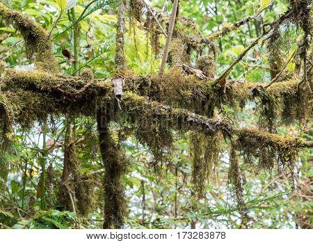 Branch tree with the lichen (Usnea exasperata) on the top of the mountain.