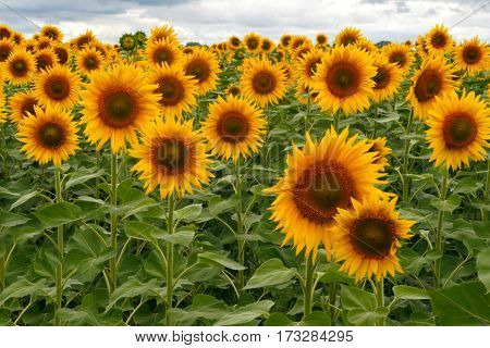 lots of sunflowers on the field under stormy sky.