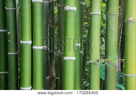 Fresh bamboo stems in the bamboo garden of the flora park.