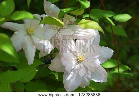 Beautiful white clematis flower in rural flowerbed