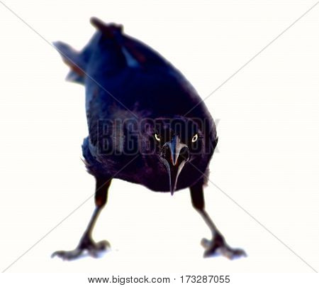Grackle facing camera with angry expression and body posture