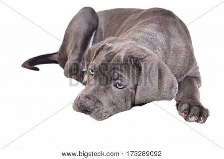 Cane corso puppy isolated on a white background