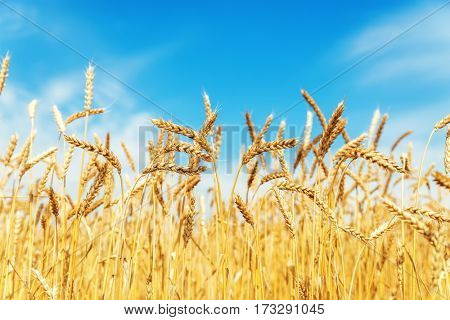 yellow wheat in field and blue sky