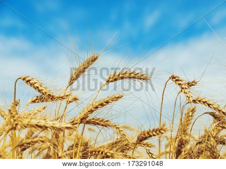 golden harvest closeup with blue sky background