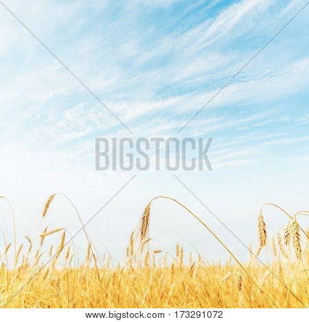light blue sky with sun over harvest field