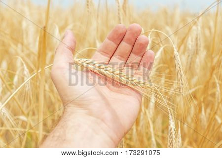ripe golden harvest in hand over field
