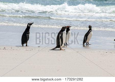 Gentoo Penguin - Pygoscelis papua - Magellanic Penguin - Spheniscus magellanicus - Falkland Islands