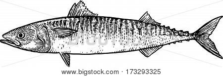 Mackerel fish illustration, drawing, engraving, line art, realistic