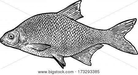 Carp bream fish illustration, drawing, engraving, line art, realistic