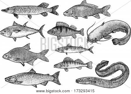 Fish collection illustration, drawing, engraving, Lina art, realistic