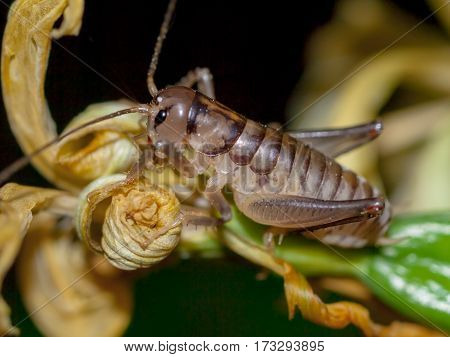 New Zealand Native Weta
