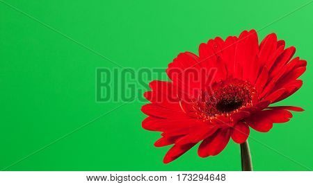 Beautiful red gerbera on a bright green background