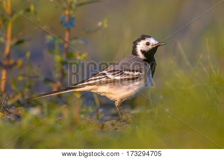 White Wagtail Foraging In Grassland