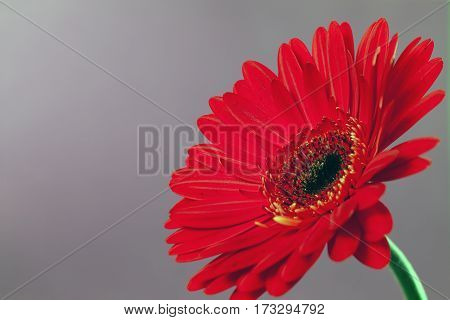 Beautiful red gerbera on a gray background