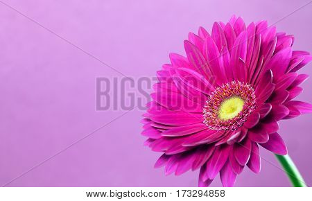 Beautiful purple gerbera on a bright violet background