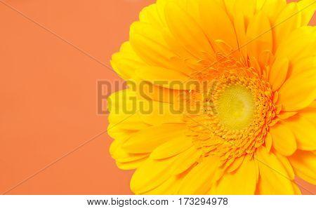 Beautiful yellow gerbera on a bright orange background