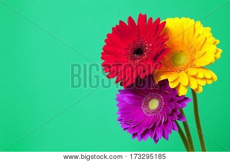 Beautiful colored gerbera on a bright green background