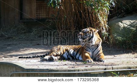 Tiger Lounging in Sunlight in Zoo Enclosure