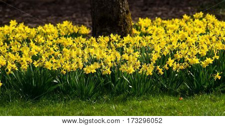 Daffodils in spring. Blooming Daffodils. Spring Flowers. Yellow Daffodils. Spring awakening. Bunch of Daffodils, Meadow full of Daffodils. Close-up of Daffodils in sunlight.