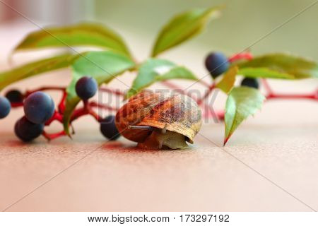 A Grape snail crawls out of lodge. Against the background of branches of wild  grapes. Shallow depth of field