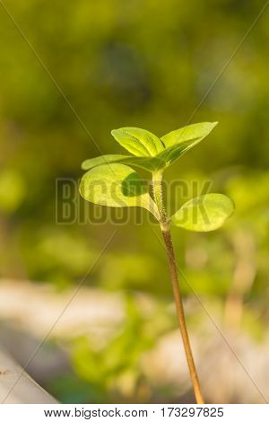 Sprout of a zinnia in the spring garden in the evening sun close-up