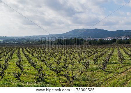 Field of grape vines early spring in Catalonia, Spain