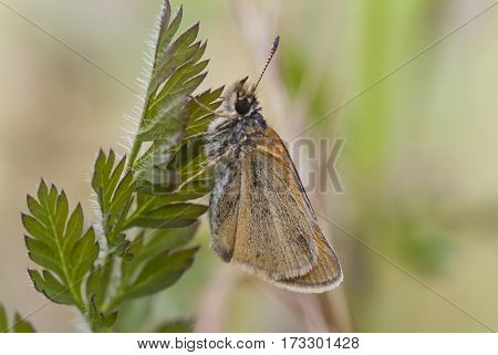 Essex Skipper Butterfly on leaf Thymelicus lineola