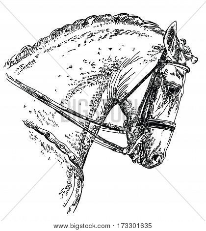 Andalusian Spanish horse portrait with bridle hand drawing illustration