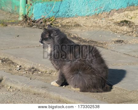 The fluffy cat is sitting on the road and looking somewhere