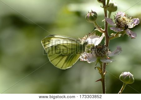 Green-veined White butterfly, Pieris napi, nectaring on flower