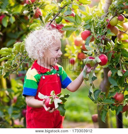 Child picking apples on farm in autumn. Blond curly little boy playing in apple tree orchard. Kids pick fruit in a basket. Toddler eating fruits at fall harvest. Outdoor fun and healthy nutrition.