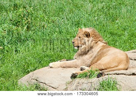 Young male African Lion laying on a rock with green grass background looking off to the viewers left. Lions are the second largest living cat after the tiger