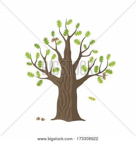 Vector flat oak tree isolated. oak with green leaves and acorns on white background.