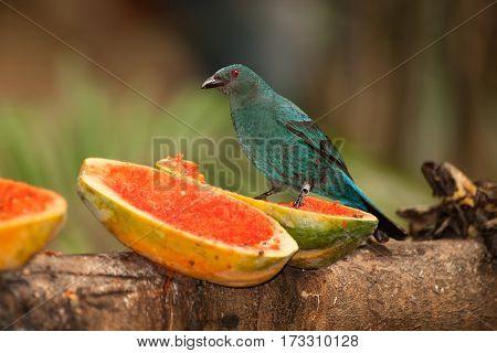 Asian Fairy bluebird - Irena puella on the bird park.