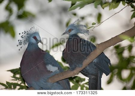 Victoria Crowned bird (Goura victoria), head profile on a tree.