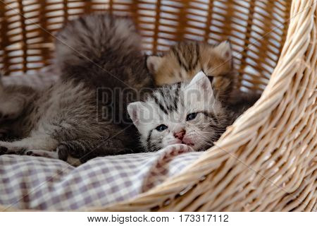 Close up of cute kitten on the pet bed in wicker basket.