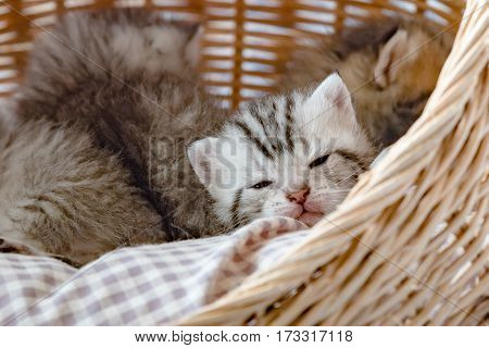 Close up of cute kitten half asleep on the pet bed in wicker basket.