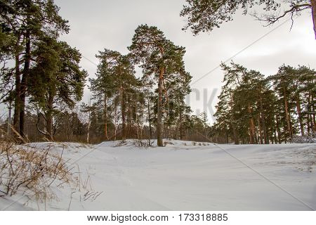 Winter pine forest on the shores of the Gulf of Finland.