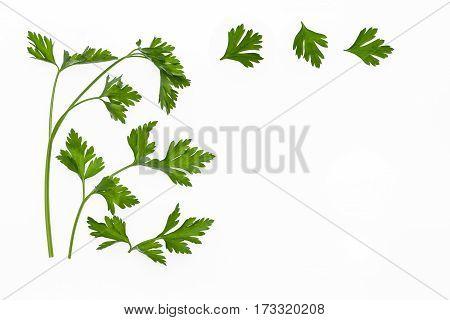 flat leaf parsley leaves isolated on white background