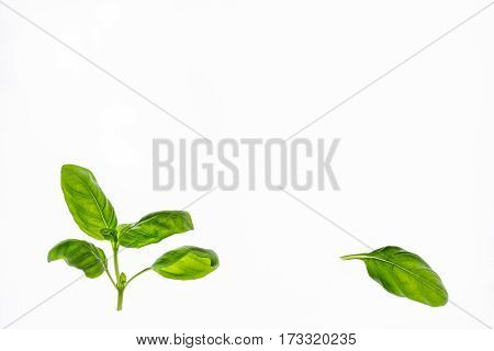 fresh basil leaves with copy space isolated on white